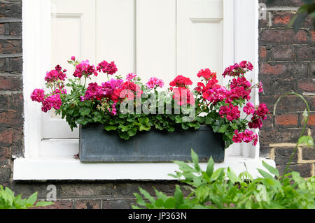 Lead window box filled with pelargoniums and geraniums on Colebrooke Row in London N1 England UK  KATHY DEWITT - Stock Photo