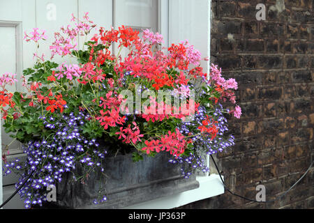 Window box filled with pelargoniums outside a house on Colebrooke Row in Islington, North London N1 England UK  - Stock Photo