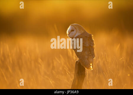 Barn owl (Tyto alba) perched in golden light at sunset - Stock Photo
