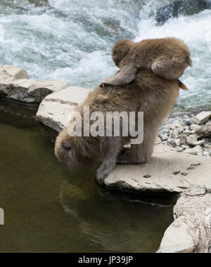 Baby snow monkey perched on mom while she drinks from the hot spring pool. These Japanese macaques are on a rock - Stock Photo