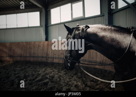 Black horse standing in the dark manege. With horse armor - Stock Photo