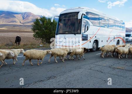 Sheep herd walking around a bus, Tavush Province, Armenia - Stock Photo