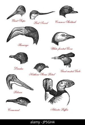 Portraits Of Different Wildlife Bird Heads: Great Snipe, Pied Avocet,  Shelduck, Flamingo