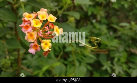 West Indian Lantana | Lantana camara flower - Stock Photo