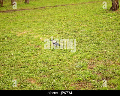 Crow walking on grass in the spring in Moscow district Teply Stan - Stock Photo