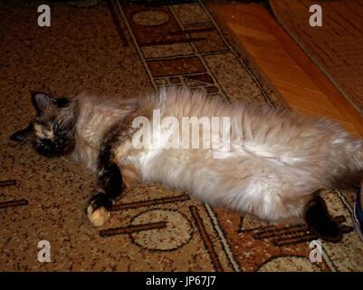 Neva masquerade cat lying on the carpet, Moscow - Stock Photo