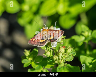 Mint moth (Pyrausta Aurata) on mint plant - Stock Photo