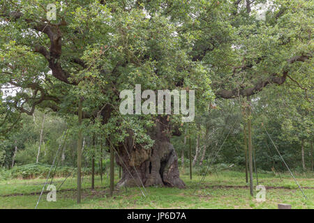 The Major Oak - Stock Photo