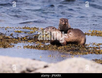 Female Eurasian otter (Lutra lutra) & her well grown cub playing, Shetland, UK - Stock Photo