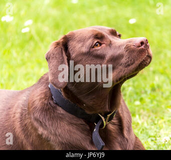 Chocolate Labrador Retriever resting after having a run. - Stock Photo