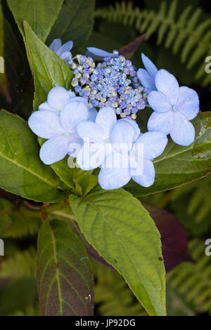 Close up of the light blue sterile outer flowets and darker fertile flowers of Hydrangea serrata 'Tiara' - Stock Photo