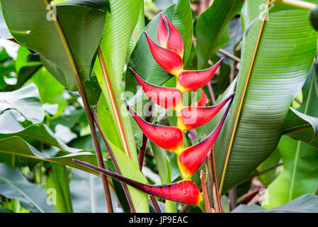 Closeup of a red heliconia rostrata flower in a forest near Manizales, Colombia - Stock Photo