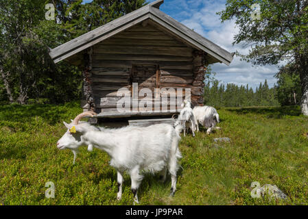 A herd of goats are grazing at a mountain farm, it's their summer pasture. The curious goats examine everything. - Stock Photo