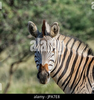 Portrait of a Zebra in Southern Africa - Stock Photo