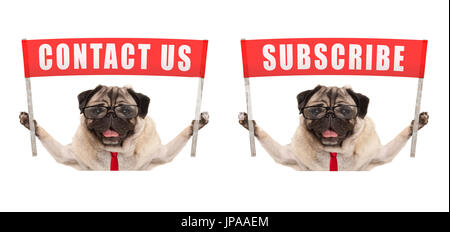 business pug dog holding up red banner sign with text contact us and subscribe, isolated on white background - Stock Photo