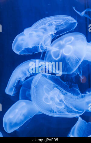 England, East Yorkshire, Kingston upon Hull, The Deep, Moon Jellyfish - Stock Photo