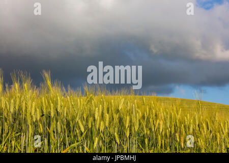 Clouds and sun on the green rolling hills and ears of corn Crete Senesi (Senese Clays) province of Siena Tuscany - Stock Photo