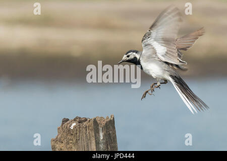 Closeup of a White Wagtail, Motacilla alba, in flight. Bird with white, gray and black feathers. The White Wagtail - Stock Photo