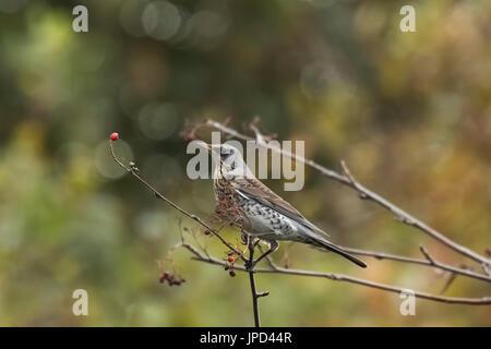 A fieldfare bird, Turdus pilaris, bird eating berries on a hawthorn bush during Autumn season. - Stock Photo