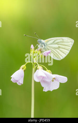 Closeup of a green-veined white (Pieris napi) butterfly resting and feeding nectar from cuckooflower (Cardamine - Stock Photo