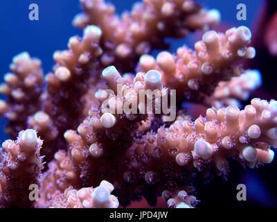 macro close up of acropora coral - Stock Photo