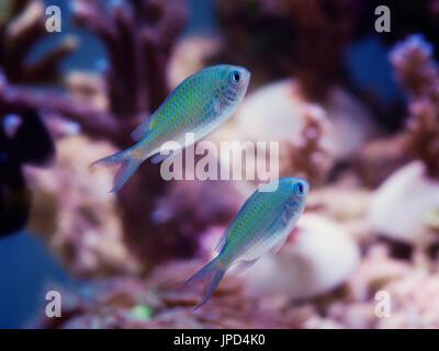 Blue Green Chromis marine fish against a backdrop of corals - Stock Photo