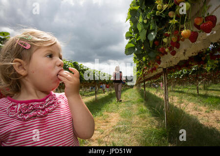A toddler girl of 18 months eating strawberries at a pick-your-own-farm in England. Her mother and baby sister are in the background