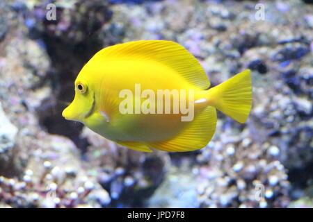 Yellow Colored Fish in Aquarium - Stock Photo