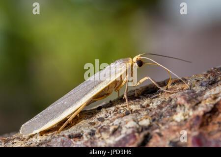 UK wildlife: common footman moth, West Yorkshire, UK - Stock Photo