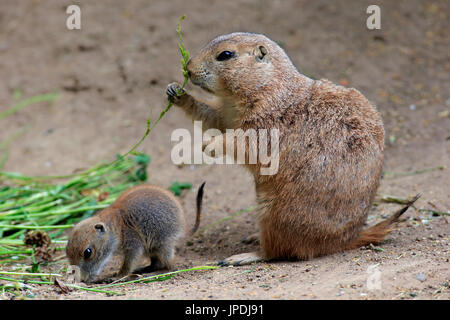 Black-tailed Prairie dogs (Cynomys ludovicianus), dam with young animals, feeding, social behavior, occurrence North - Stock Photo