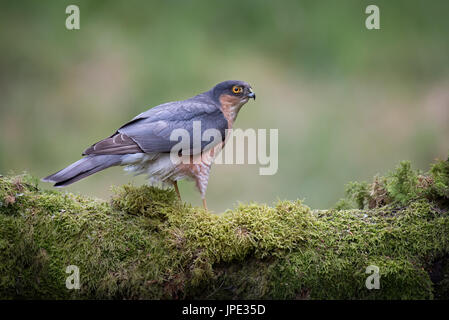 Close up of an alert looking male sparrowhawk perched on a lichen covered log and looking to the right - Stock Photo