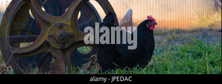 An Australorp hen feeding in an open yard need a rusting old farm machinery wheel - Stock Photo