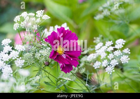 Cosmos bipinnatus and Ammi majus 'Graceland' flowers. Stock Photo