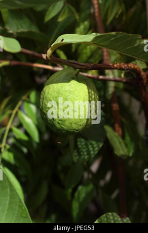 Close up of home grown Psidium guajava - Stock Photo