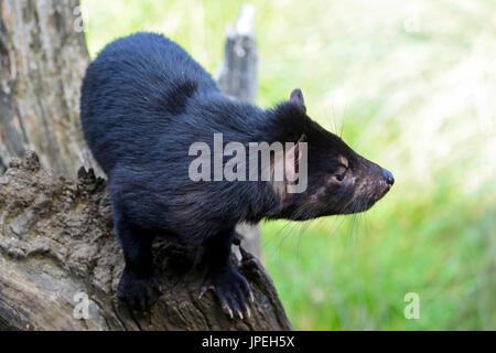 Tasmanian devil at the Tasmanian Devil Sanctuary at Cradle Mountain, Tasmania, Australia - Stock Photo