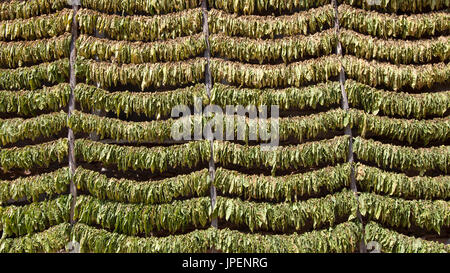 A lot of tobacco leaves stacked on strings for drying before processing. - Stock Photo