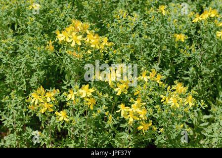 herbal flower St John's wort (Hypericum perforatum) - Stock Photo