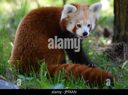 Leipzig, Germany. 1st Aug, 2017. A red panda in the newly opened Himalayan landscape enclosure in the zoo in Leipzig, - Stock Photo