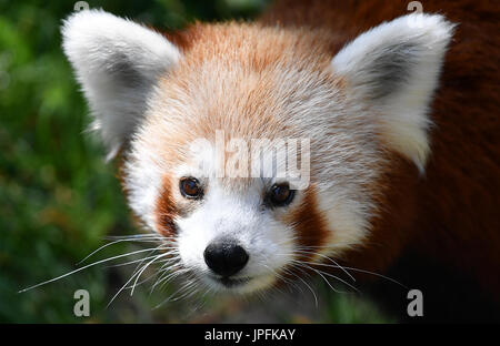 Leipzig, Germany. 1st Aug, 2017. dpatop - A red panda in the newly opened Himalayan landscape enclosure in the zoo - Stock Photo