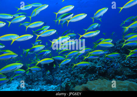 Shool of yellowback fusilier fish (Caesio xanthonota) in the tropical waters of the indian ocean - Stock Photo