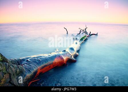 Romantic sunset time. Lonely fallen  tree on empty  stony coastline. Pink sky above smooth smoky water level. Death - Stock Photo