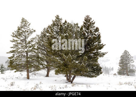 Landscape with pine trees during blizzard in winter, Yellowstone national park, Wyoming, Montana, USA. - Stock Photo