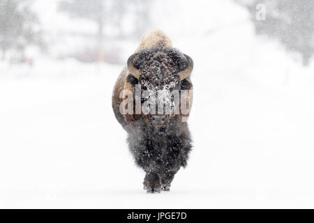 Bison (Bison bison) bull, walking in a snowstorm, looking at camera, Yellowstone National Park, Montana, Wyoming, - Stock Photo