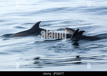 Common Bottlenose Dolphin (Tursiops truncates) family surfacing in the Strait of Gibraltar - Stock Photo
