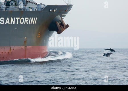 Common Bottlenose Dolphin (Tursiops truncates) bowriding in the Strait of Gibraltar - Stock Photo