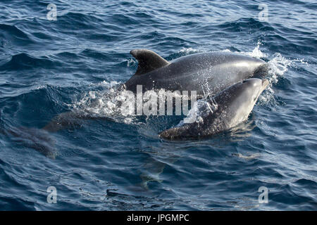 Common Bottlenose Dolphin (Tursiops truncates) mother and baby surfacing in the Strait of Gibraltar - Stock Photo