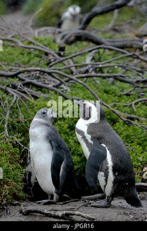 African penguin or Jackass Penguin (Spheniscus demersus) mother and chick at the penguin colony of Stony Point, - Stock Photo