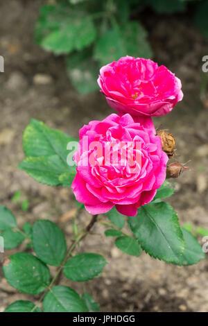 Pink rose in the garden, beautiful flower, Russia, summer - Stock Photo