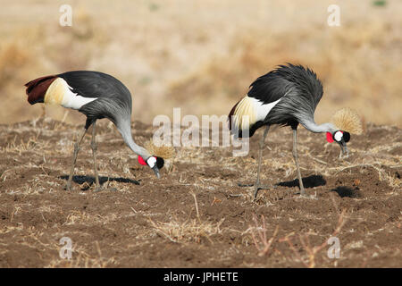 Two black crowned cranes (Balearica pavonina) foraging, South Luangwa National Park, Zambia - Stock Photo