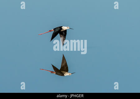 A Black-winged Stilt gives a perfect reflection as it flies over unrippled water - Stock Photo